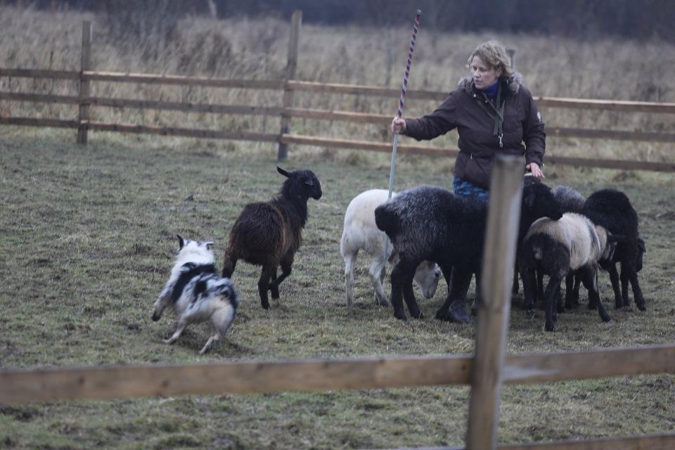 "Питомник австралийских овчарок ""Аве Динорнис"" Питер F87ff57e7229"