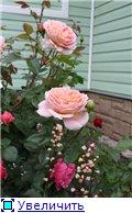 Розы 2011 C8b0fed16924t