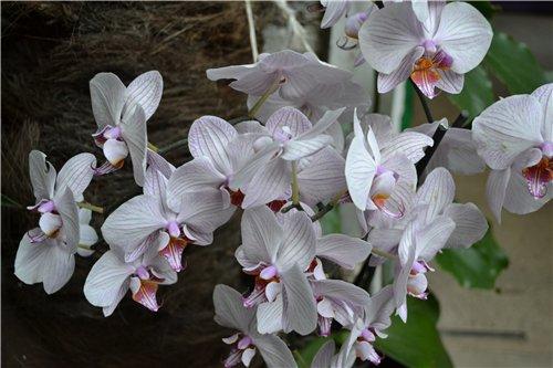 Выставка орхидей Никитского ботанического сада D12bfa31fd30