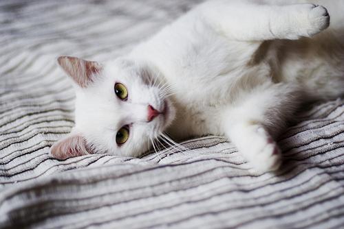Morgen of Bloodclan Cat-white-cat-cat-photography-Favim.com-4474942