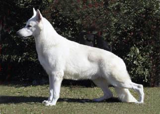 Beli švicarski ovčar - Page 4 White23