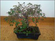 Mi primer bonsai, consejos DSC_0026