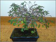 Mi primer bonsai, consejos DSC_0029