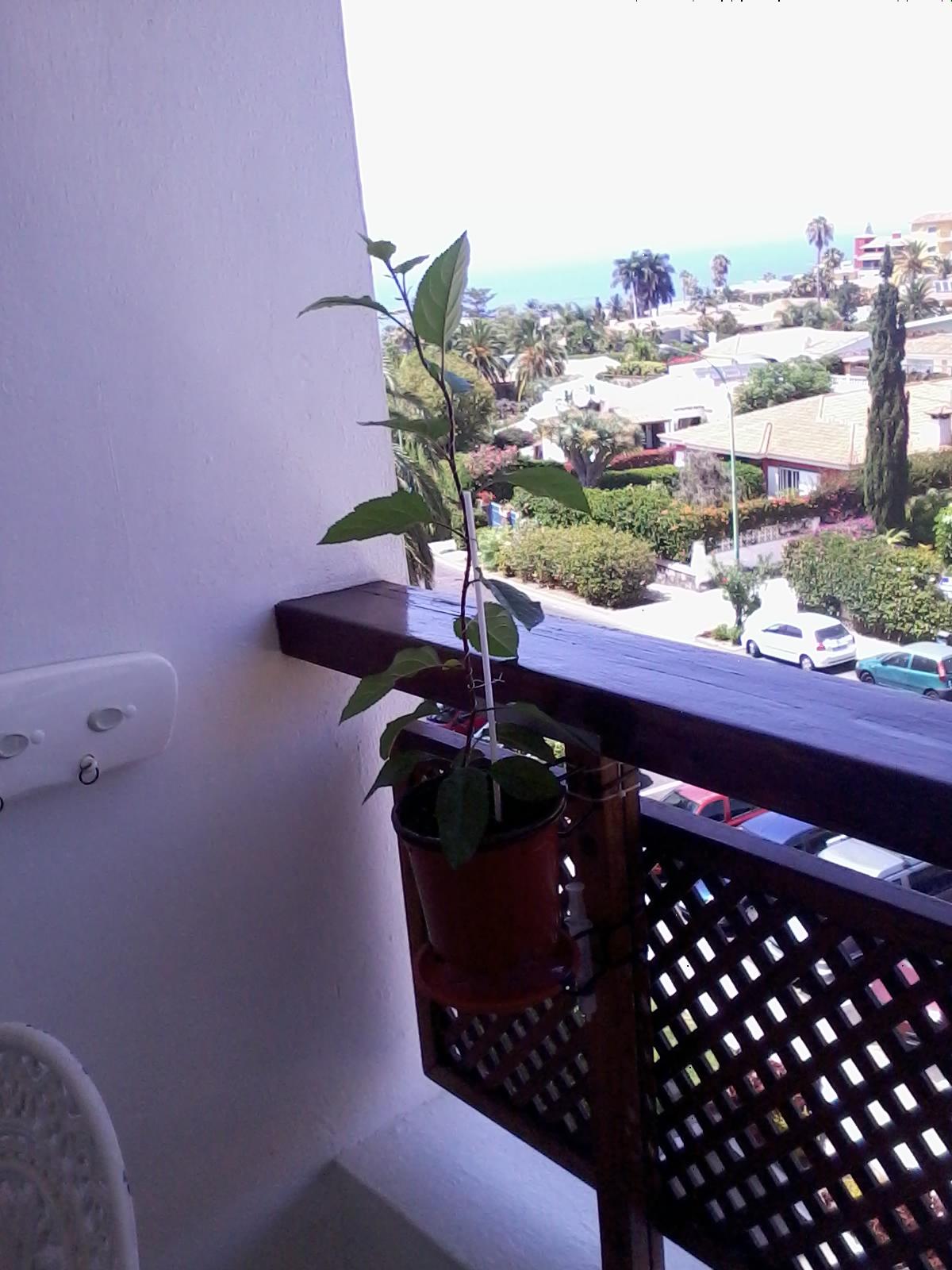 Evolución bonsais manzano desde semilla 28_07_2013