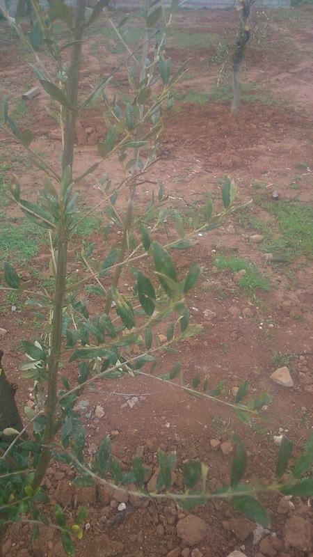 Crecimiento de plantones olivo - Página 9 55jwbr
