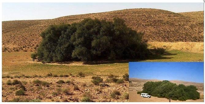 Olivos espectaculares Olivo_tunez