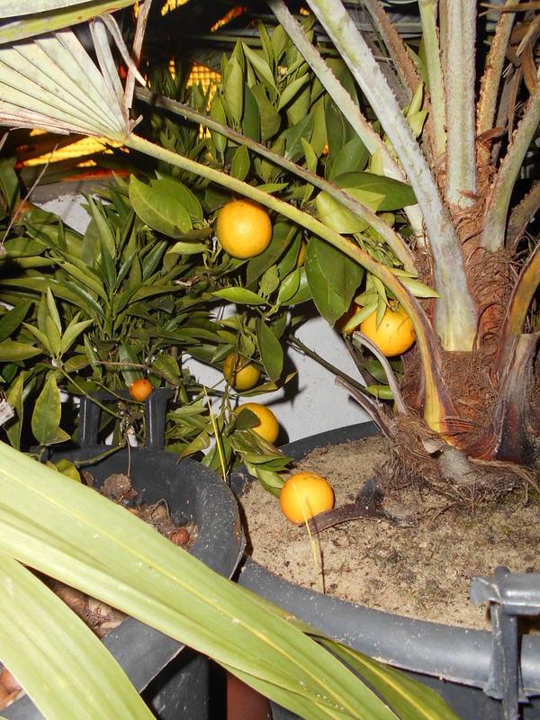 Pomerančovníky - Citrus sinensis - Stránka 4 DSCN0594