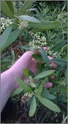 Olea europaea - olivovník evropský WP_20150616_005