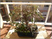 Mi primer bonsai, consejos DSC_0019