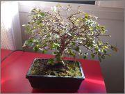 Mi primer bonsai, consejos DSC_0022