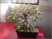 Mi primer bonsai, consejos DSC_0021