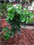 Pomela (Šedok) - Citrus grandis DSCF0380