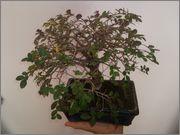 Mi primer bonsai, consejos DSC_0025