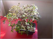 Mi primer bonsai, consejos DSC_0023
