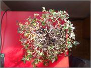 Mi primer bonsai, consejos DSC_0024