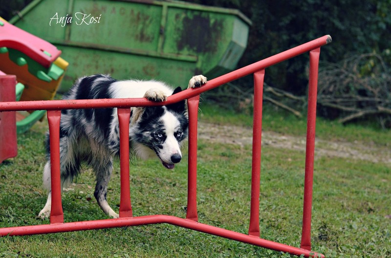Border Collie - Page 3 1965680_972544599426240_8227574484630011754_o