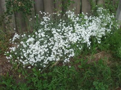 les plantes qui poussent dans ma région - Page 2 Fleurs_blanches_coussin