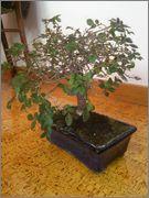 Mi primer bonsai, consejos DSC_0028