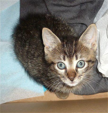Nuño gatito de 1,5 meses urge hogar-Sevilla Vwyj4_VH