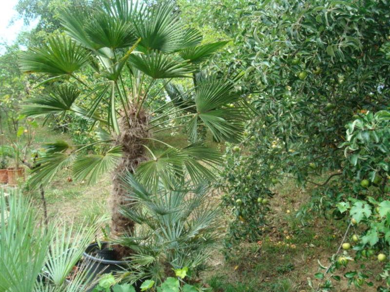 Trachycarpus fortunei var. Wagnerianus - Stránka 2 DSC06243
