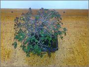 Mi primer bonsai, consejos DSC_0027