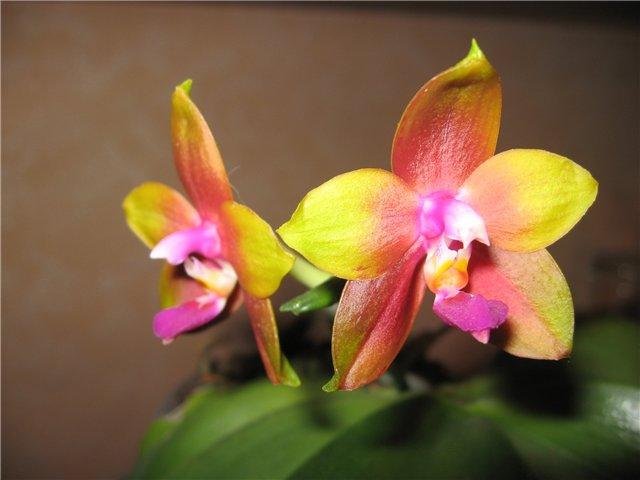 Phalaenopsis Penang Girl 164bd5333c7b