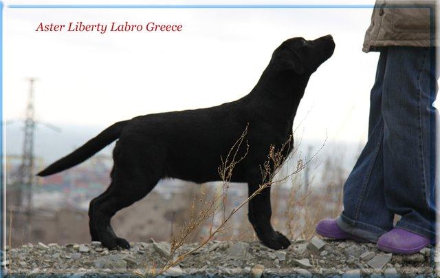 Щенки в питомнике Aster Liberti Labro!!! - Страница 9 D6a4f16e4e1b