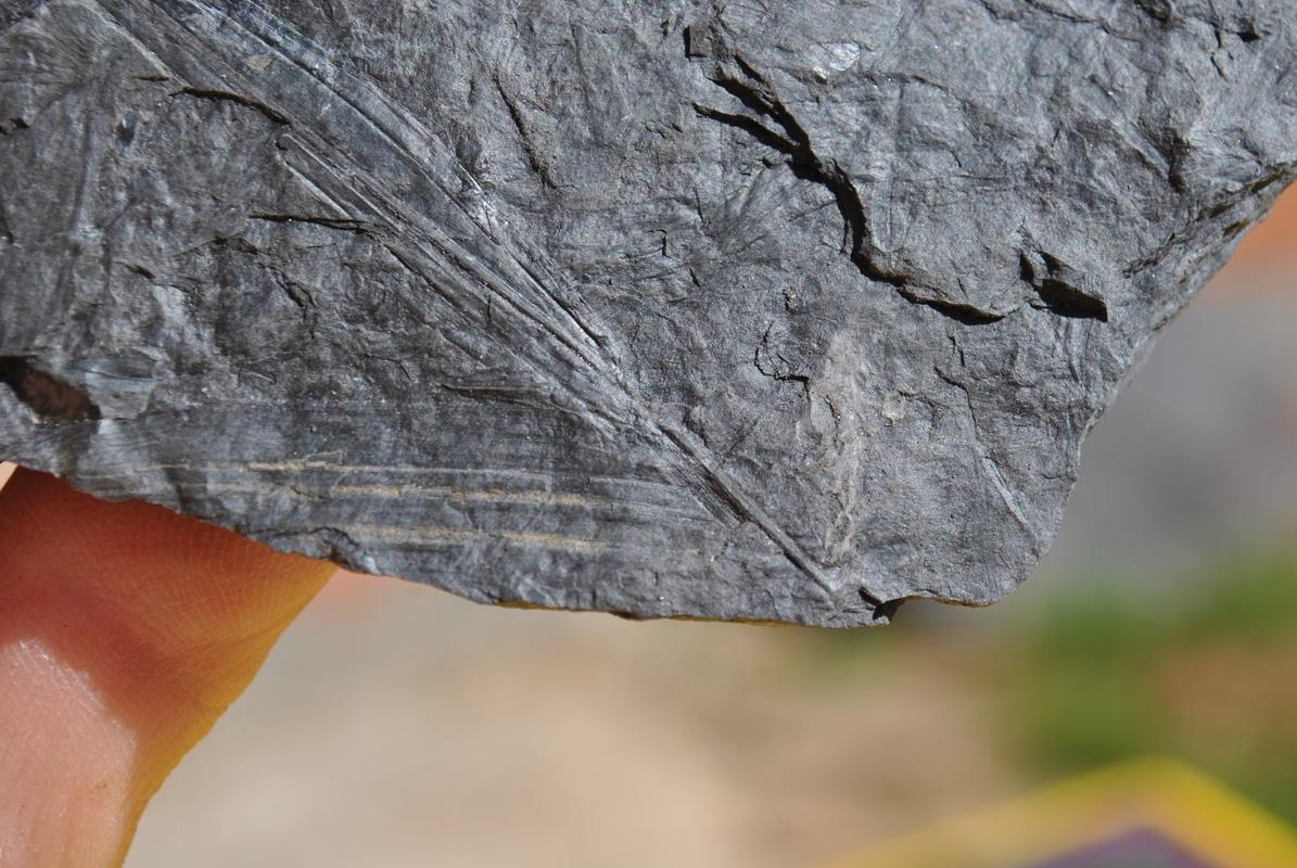 Sigillariostrobus  ou  Lepidostrobus  DSC_6036
