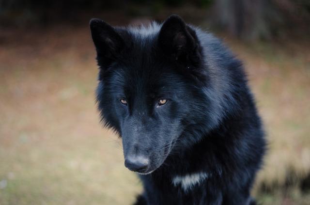 Alaskan noble companion dog 2ep65xy