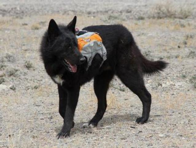 Alaskan noble companion dog 1237204