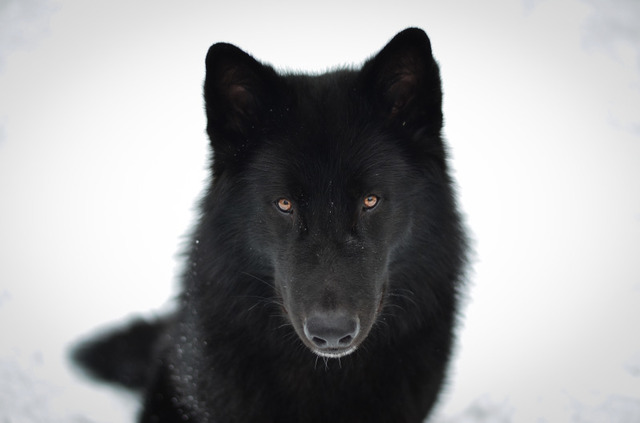 Alaskan noble companion dog 5yyfli