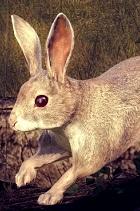 [TERMINATO] Vota la tua specie preferita - Competizioni Ufficiali theHunteritaly  Coniglio_americano