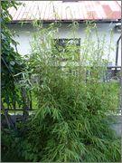 Bambusy - Stránka 2 16_6_2015_2