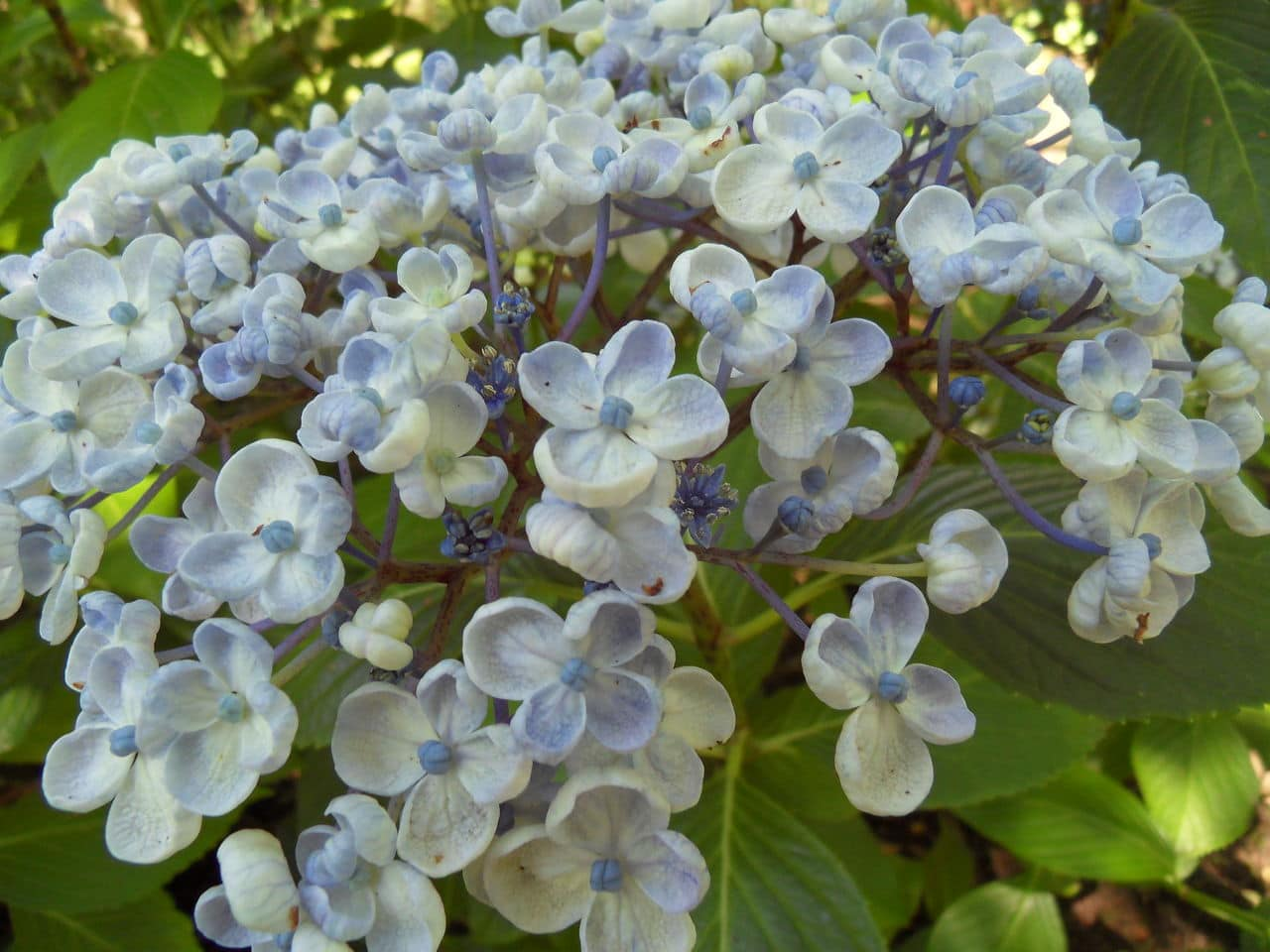 hortensia - Page 6 SDC13967