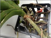 Despre orhideele noastre - discutii - Pagina 10 Image