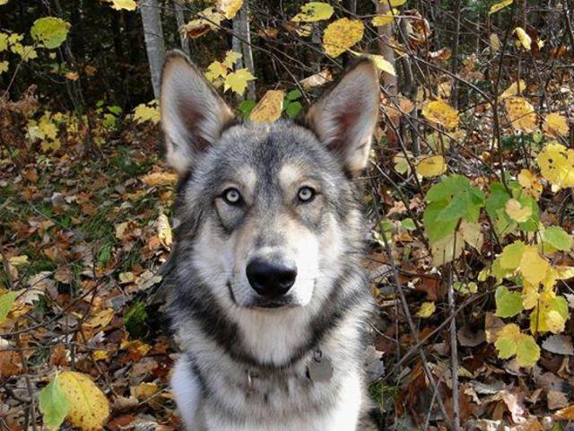 Alaskan noble companion dog 10300886_465648396911842_5290270551020804179_n