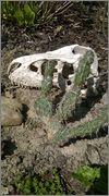 mrazuodolné opuncie - rod Opuntia WP_20140412_001_2