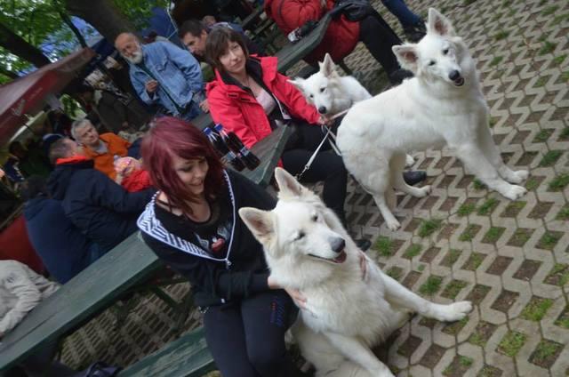 Beli švicarski ovčar, berger blanc suisse, white swis shepherd, witte herder,swtitzserse weisse shafferhund 10274328_847337241946977_5987123160188418627_n