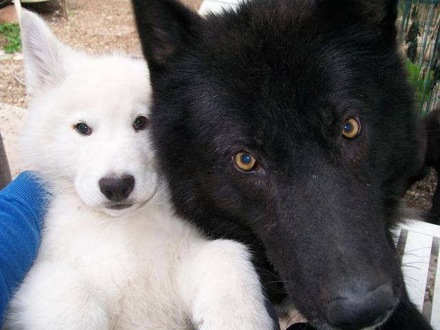 Alaskan noble companion dog 1399552_339986066144743_1996917700_o
