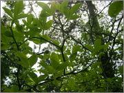 Citronečník trojlistý - Poncirus trifoliata IMG_2063