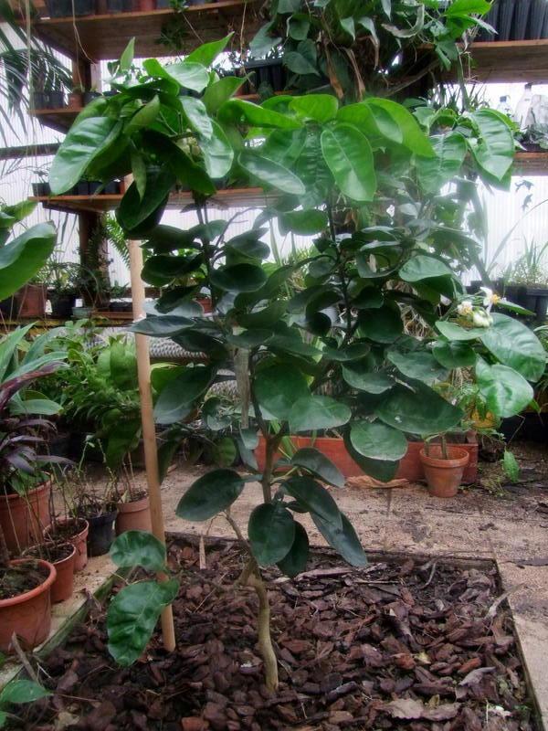 Pomela (Šedok) - Citrus grandis DSCF4833
