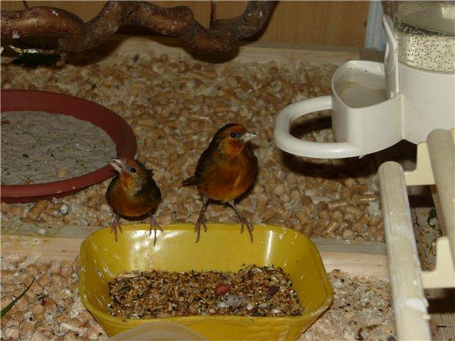 Гибридизация канарейки с отечественными видами вьюрковых птиц. 894368f81155