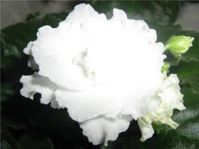 Моё цветочное богатство - Страница 10 94ae13b11a0c