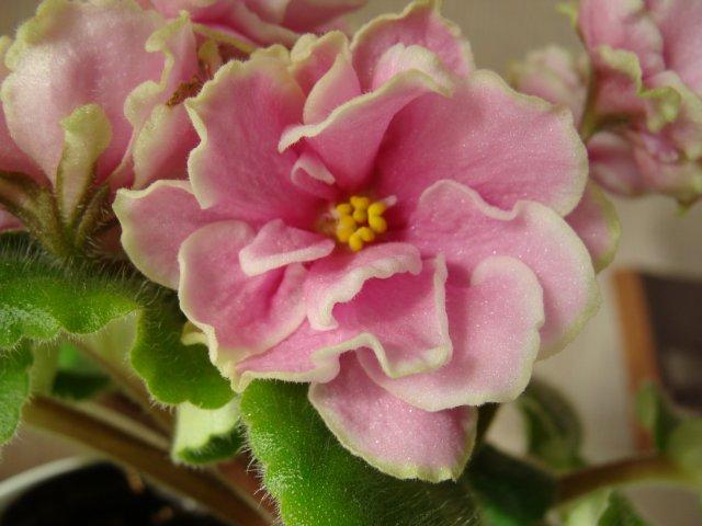 Мои цветочки - Страница 13 Dc8003baffc9