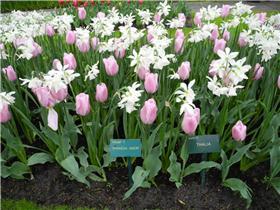 Рай тюльпанов или Кёкнхов - 2012 7f9b9ee099a1t