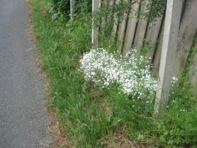 les plantes qui poussent dans ma région - Page 2 Fleurs_route_barri_re
