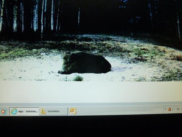 Boar cam Winter 2014-2015 - Page 12 2015_05_1_boar_sleeping_beauty_4_56_002