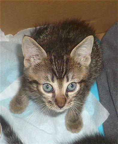Nuño gatito de 1,5 meses urge hogar-Sevilla Ei_Betx_L