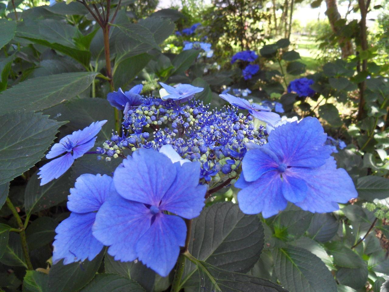 des hortensias bien bleus SDC13524