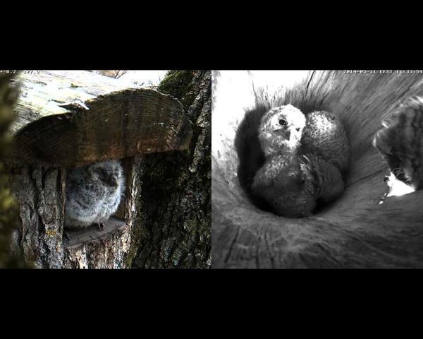 Tawny Owl Nestcam 2013 St_patrick_s_day_2014005